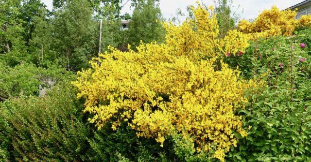 Gul busk i Alver