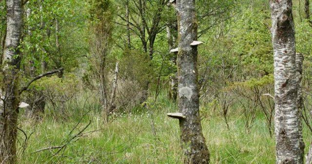 Kjuker på trær i Bømlo