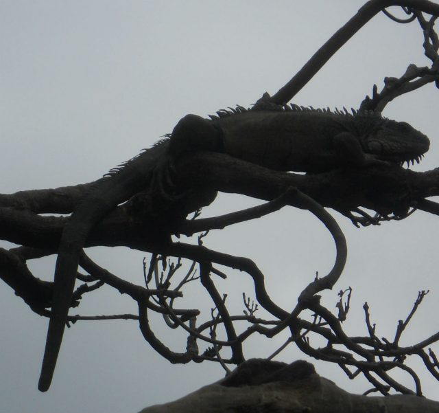 Iguana går til ro i trærne i parken i sentrum av Guayaquil