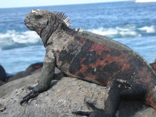 Iguana på Galapagos
