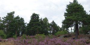 Skog og røslyng i Lier