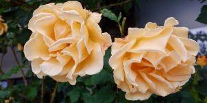 Roser i Molde