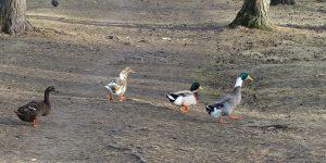 Fugler i Bugårdsdammen i Sandefjord