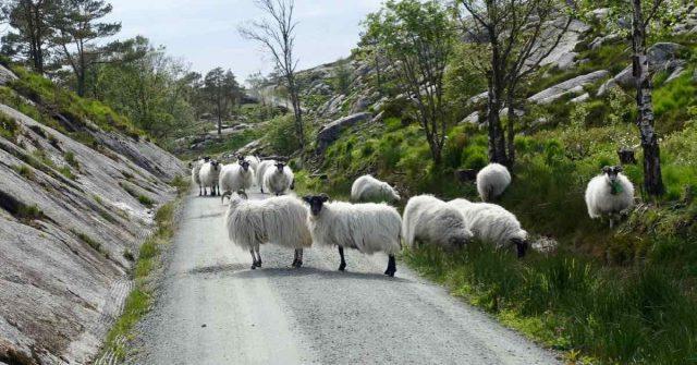 Sauer på vei i Sveio